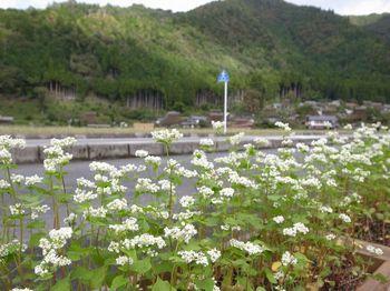 美山町そばの花.jpg